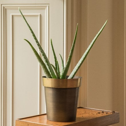Aloe vera and antique brass pot cover with polished rim