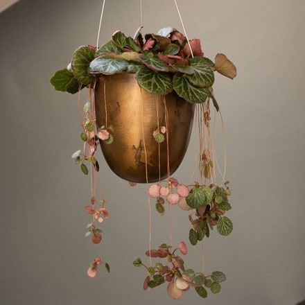 Saxifraga stolonifera and hanging pot