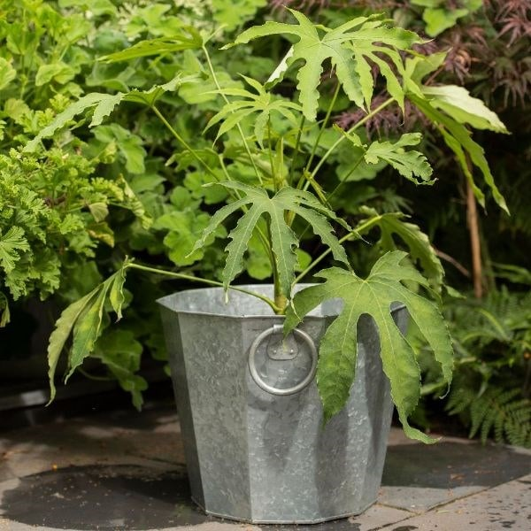 Fatsia polycarpa 'Green Fingers' & galvanised planter