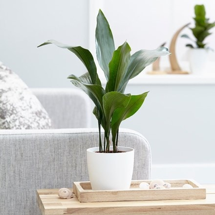 Aspidistra elatior and pot cover