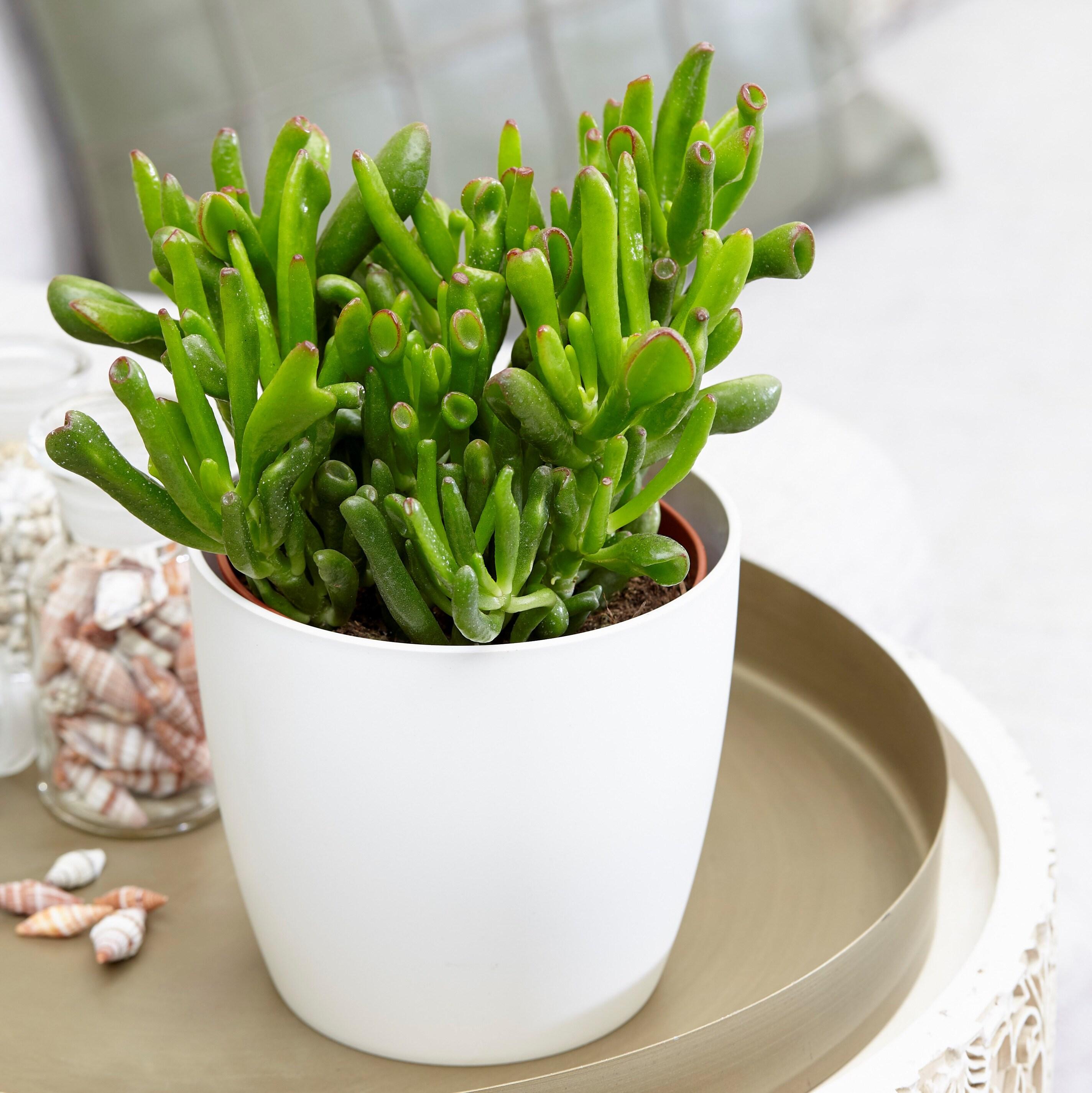 crassula ovata hobbit and pot cover. Black Bedroom Furniture Sets. Home Design Ideas