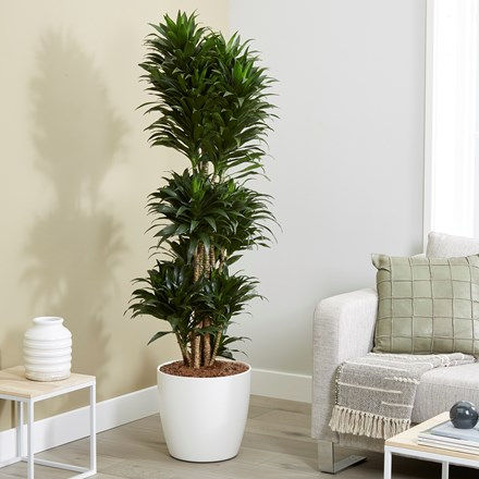 Dracaena fragrans Compacta and pot cover
