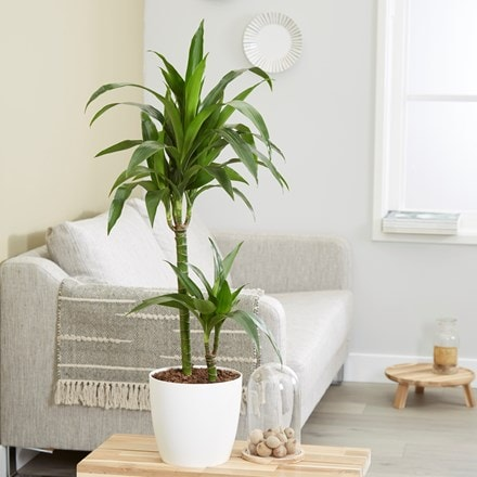 Dracaena fragrans Janet Craig and pot cover