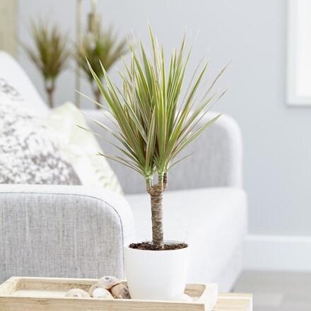 Dracaena marginata Bicolor and pot cover