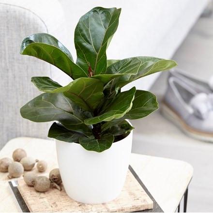 Ficus lyrata Bambino (PBR) and pot cover