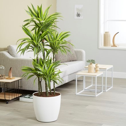 Dracaena Lemon Lime and pot cover