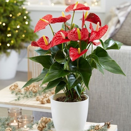 Anthurium Red Champion and pot cover