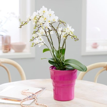 Phalaenopsis 'White Willd Orchid' and pot cover