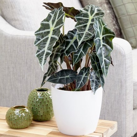 Alocasia Polly and pot cover combination
