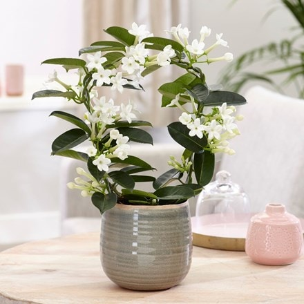 Stephanotis floribunda and como pot cover