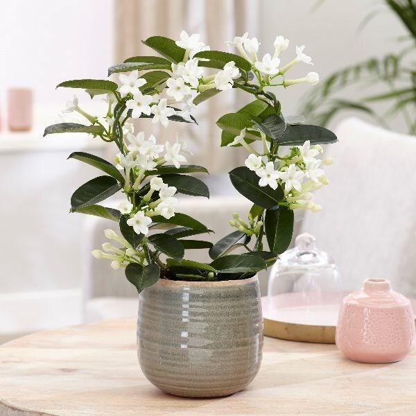 Stephanotis floribunda & como pot cover combination