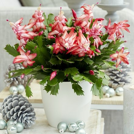 Christmas cactus and pot cover