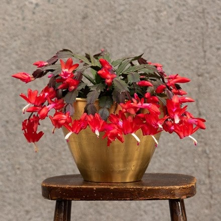 Christmas cactus and solid etched brass pot