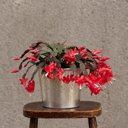 Christmas cactus and hand etched aluminium planter