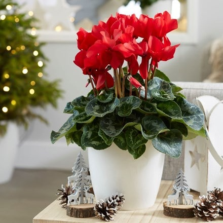 Cyclamen Rainier Scarlet & pot cover