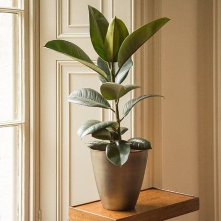 Ficus elastica 'Robusta' and spun metal planter - antique pewter
