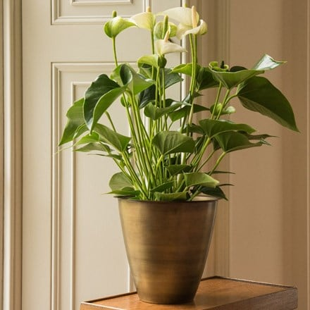 Anthurium White Champion and spun metal planter - antique brass