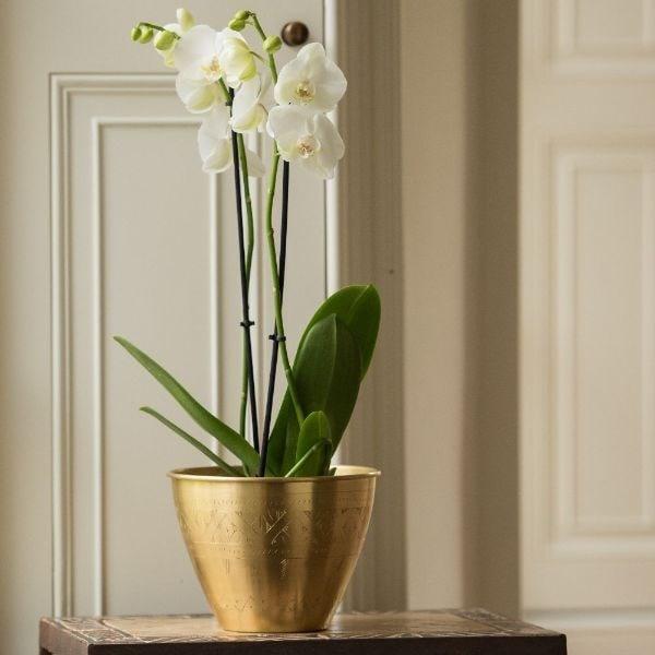 Phalaenopsis grandiflorum 'White' & solid etched brass pot