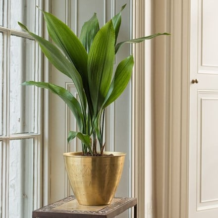 Aspidistra elatior and solid etched brass pot