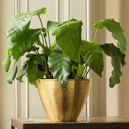 Calathea 'Network' and solid etched brass pot