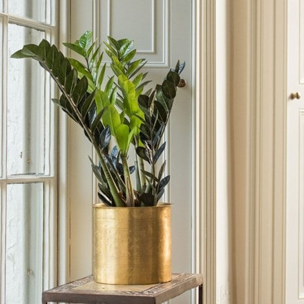 Zamioculcas zamiifolia and solid brass hand etched planter