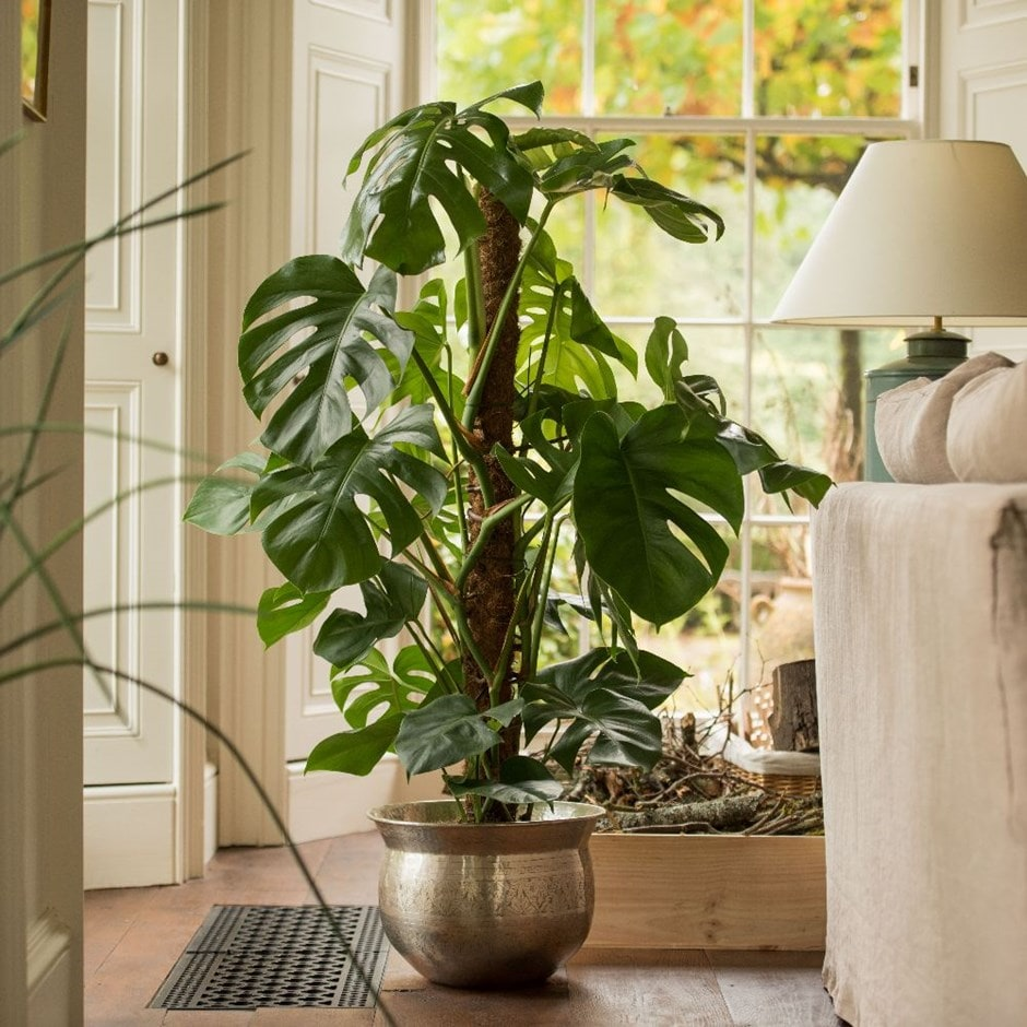 Monstera deliciosa -  swiss cheese plant & brass bowl combination