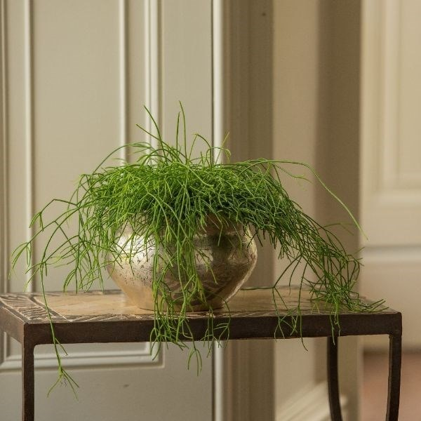 Rhipsalis baccifera & silver plated brass etched bowl