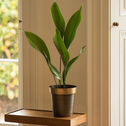 Aspidistra elatior and antique brass pot cover with polished rim