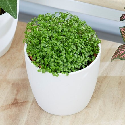 Selaginella Bottle garden   / terrarium plant and pot cover
