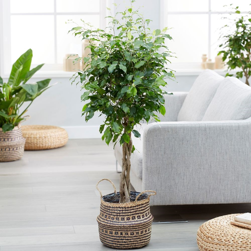 Ficus benjamina 'Exotica' and seagrass tribal black lined basket