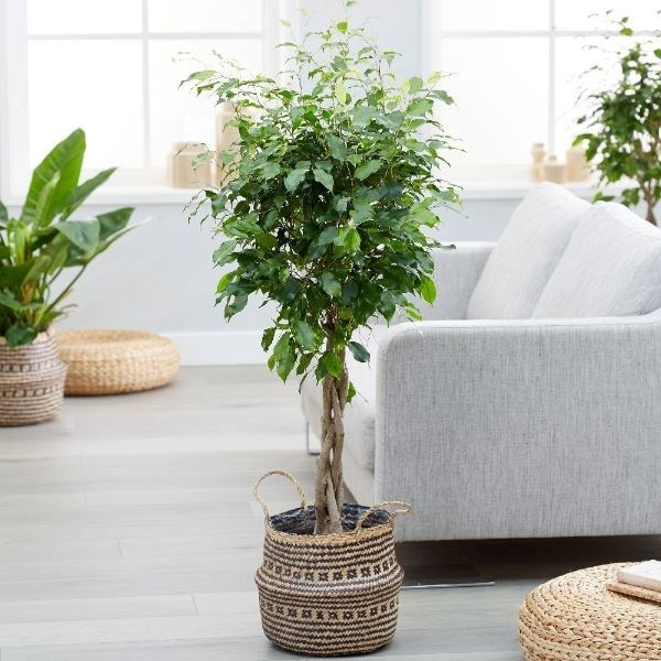 Ficus benjamina 'Exotica' & black lined basket combination