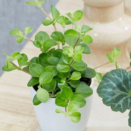 Peperomia Bottle garden / terrarium plant & potand pot cover