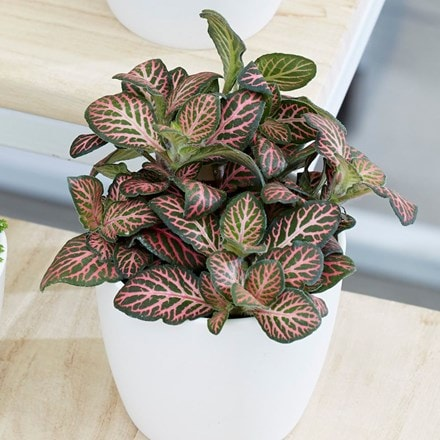 Fittonia Bottle garden / terrarium plant and pot cover