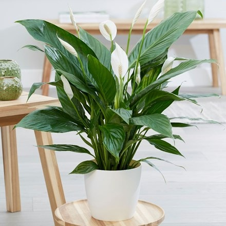 Spathiphyllum Bingo Cupido and pot cover