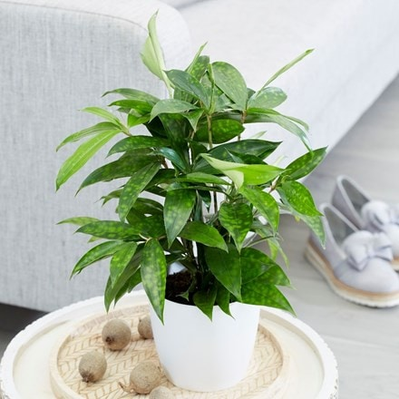Dracaena surculosa and pot cover
