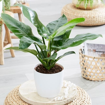 Philodendron 'Imperial Green' and pot cover