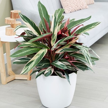Calathea 'Triostar' and pot cover
