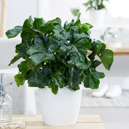 Philodendron selloum Atom and pot cover