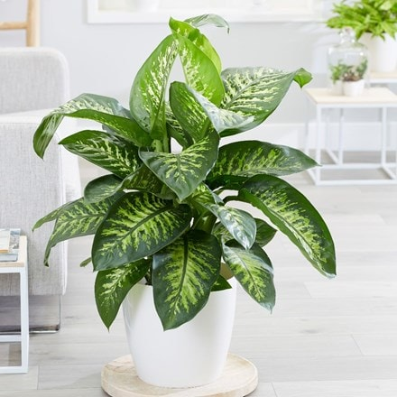 Dieffenbachia Tropic Snow and pot cover