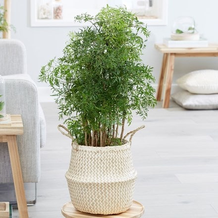 Polyscias fruticosa Ming and seagrass chevron white lined basket