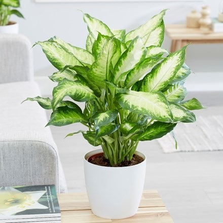 Dieffenbachia Camilla and pot cover