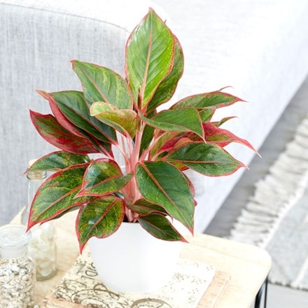 Aglaonema Crete and pot cover