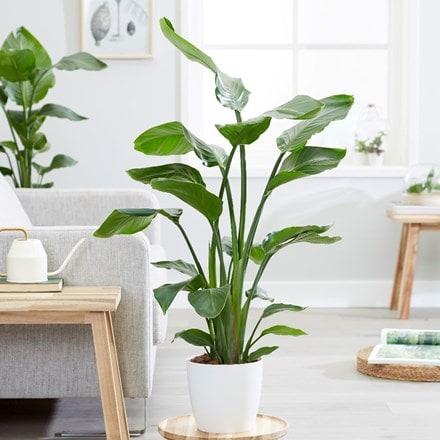 Strelitzia nicolai and pot cover