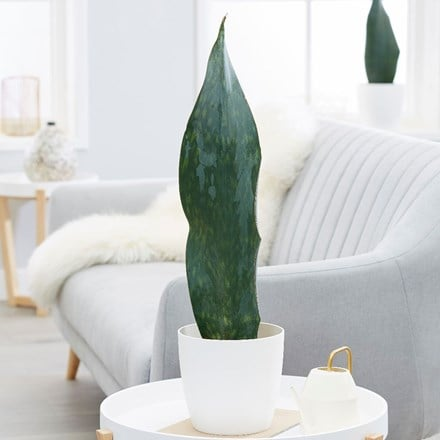 Sansevieria masoniana Victoria and pot cover