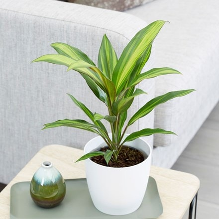 Cordyline fruticosa Kiwi and pot cover