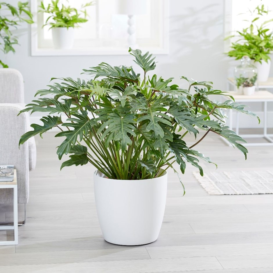 Philodendron xanadu & pot cover combination