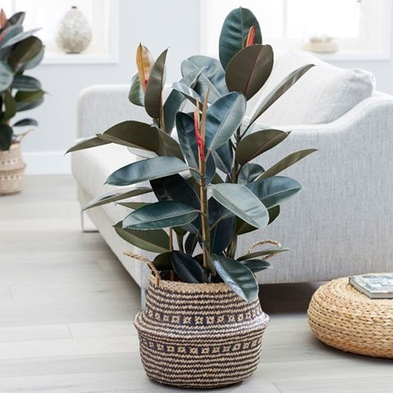 Ficus elastica Abidjan and seagrass tribal black lined basket