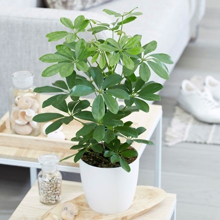 Schefflera Nora and pot cover