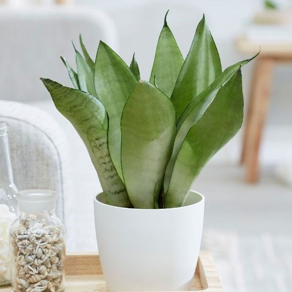 Sansevieria trifasciata Moonshine and pot cover