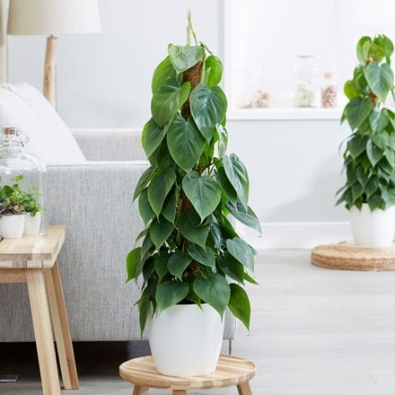 Philodendron scandens and pot cover